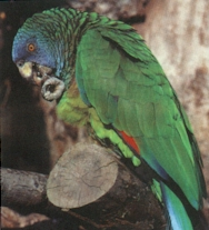 The Saint Lucia Parrot (Amazona versicolor)
